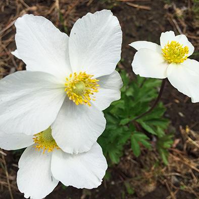 Nova Scotia Edible Design - Anemone white