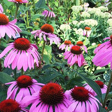 Halifax Landscape Design - Echinacea purpurea