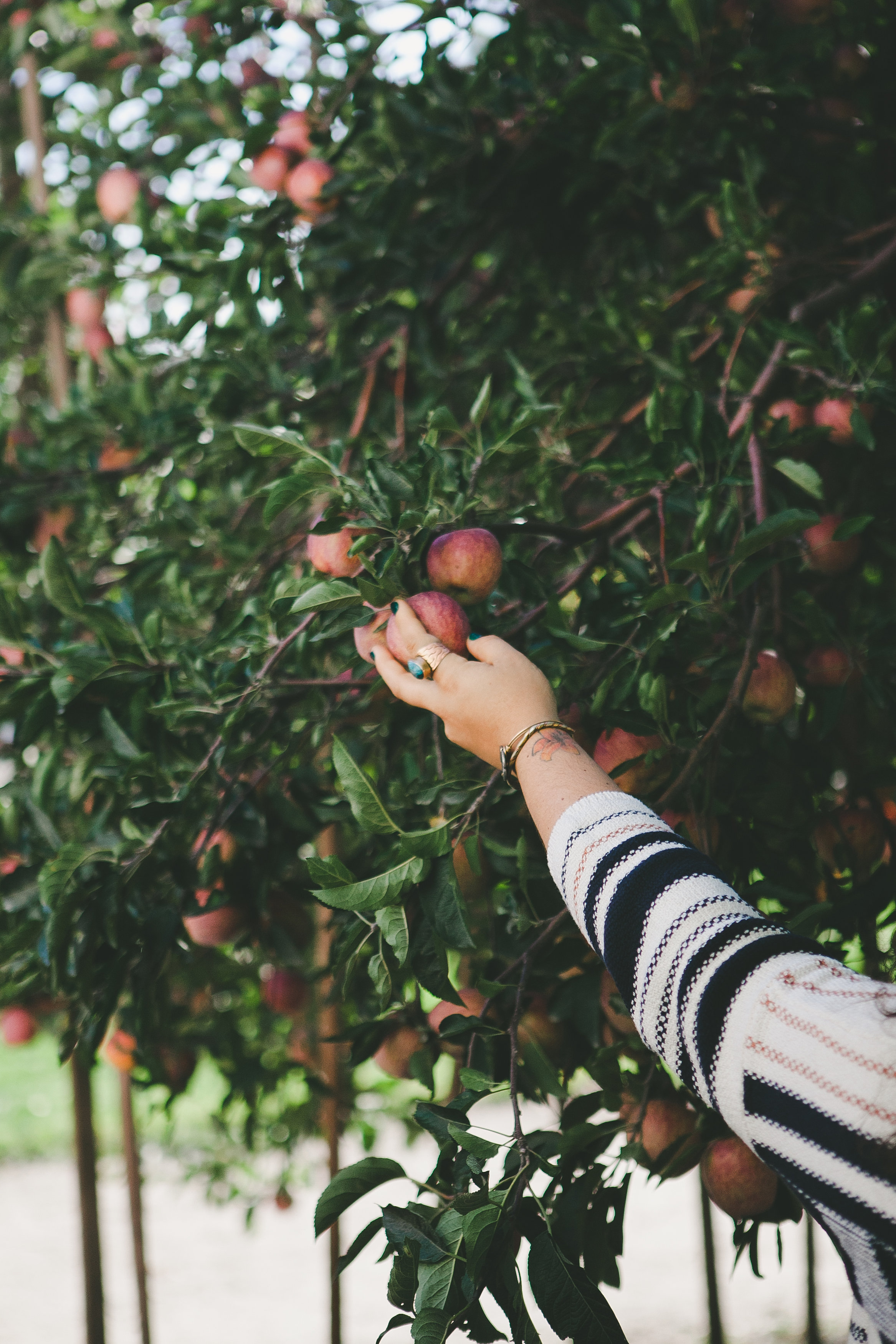 picking apples san diego
