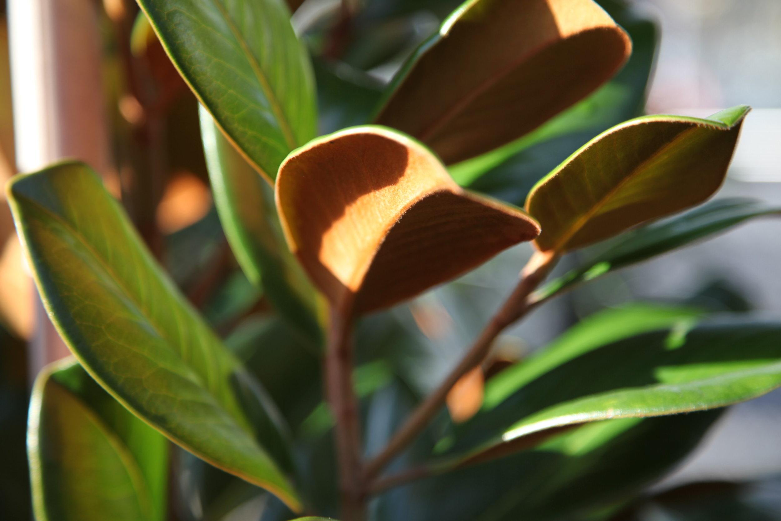 teddy-bear-magnolia.JPG
