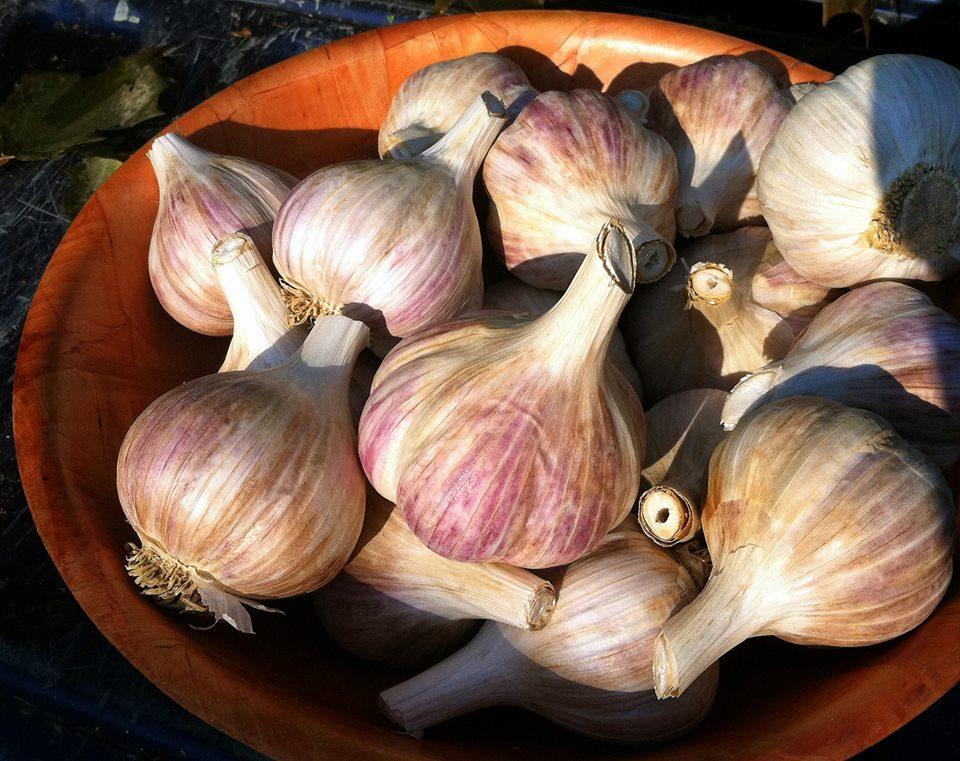 Music heirloom garlic