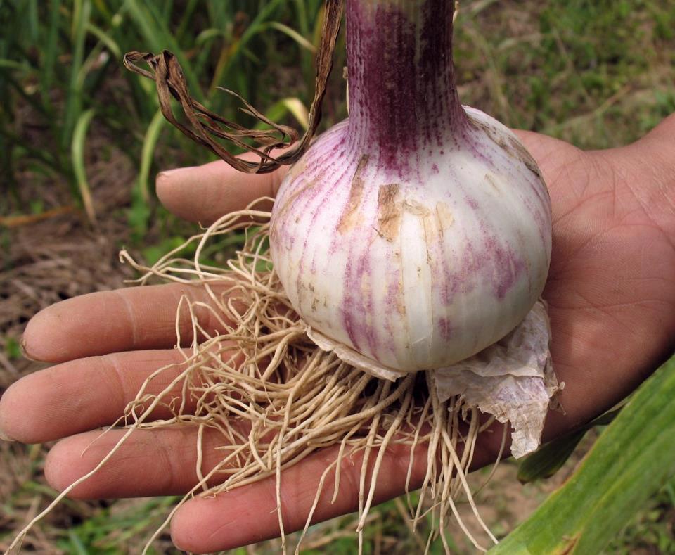 Khabar heirloom garlic