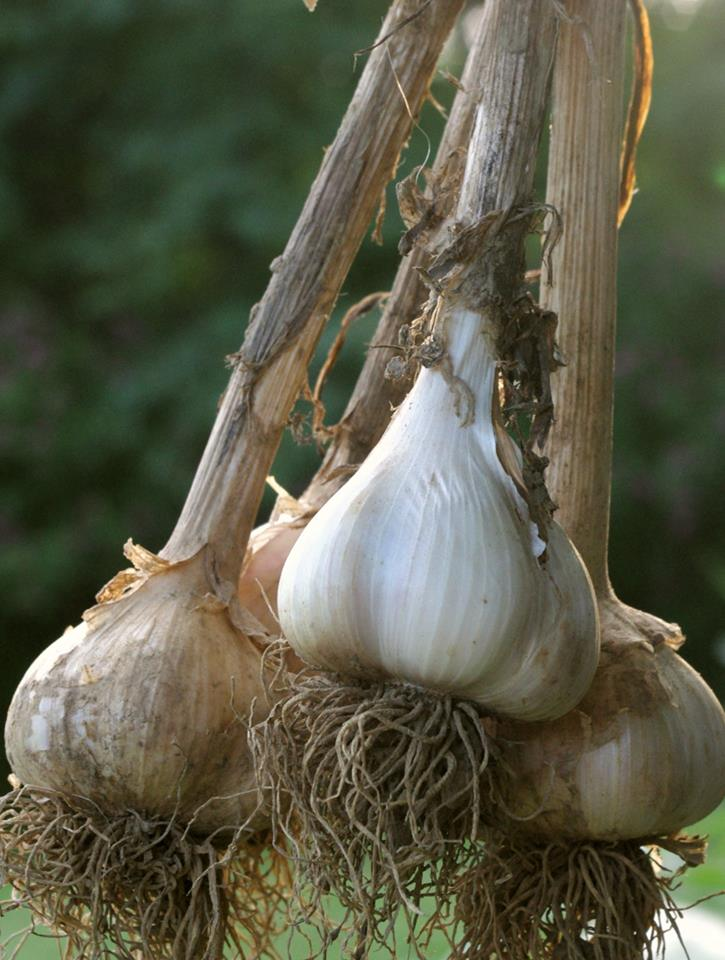 Our Mild Sampler garlic varieties, great for eating raw or cooking in dishes where you want mild garlic flavor.