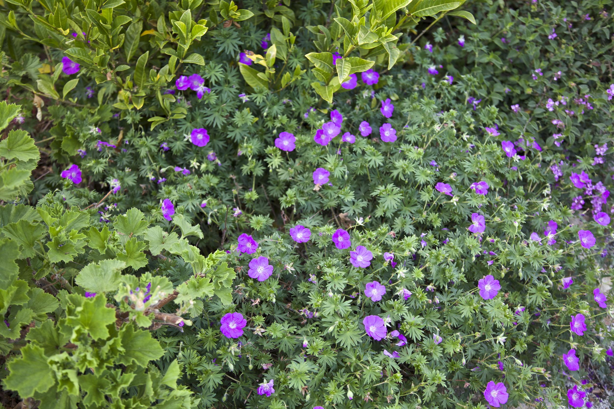 Abundant geranium on paths