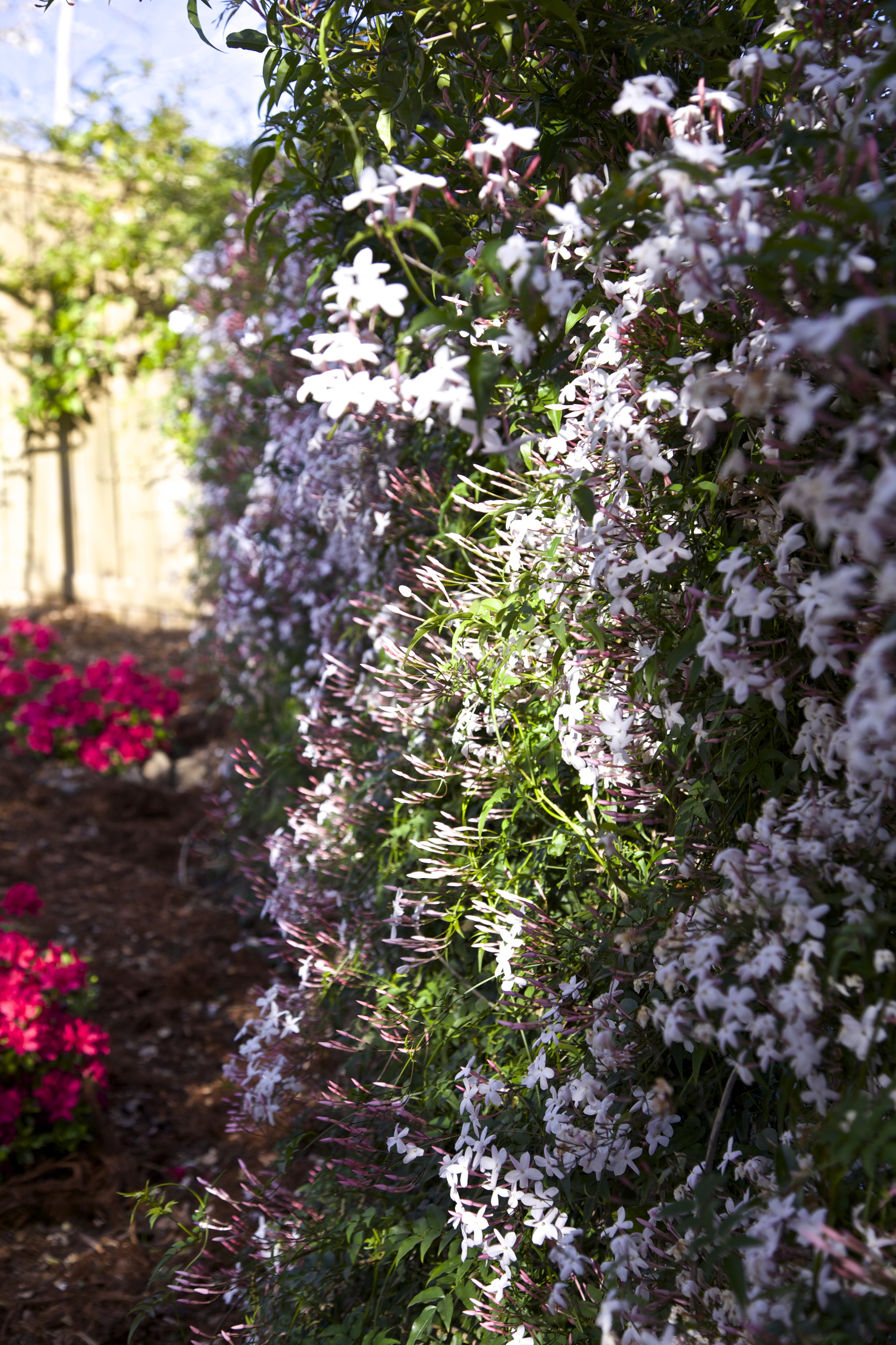 Hillside jasmine scents the air