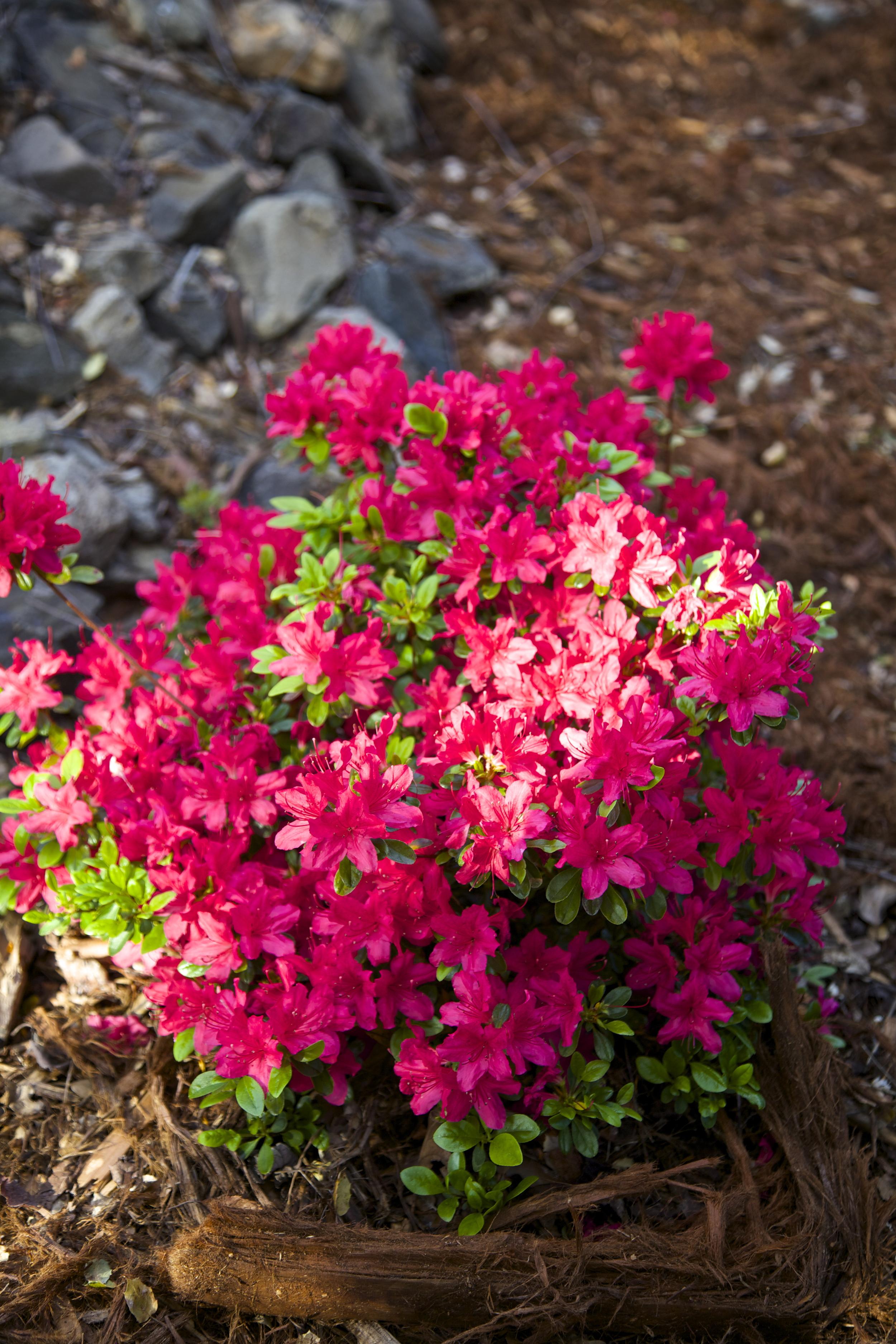 Pink azaleas show springtime color