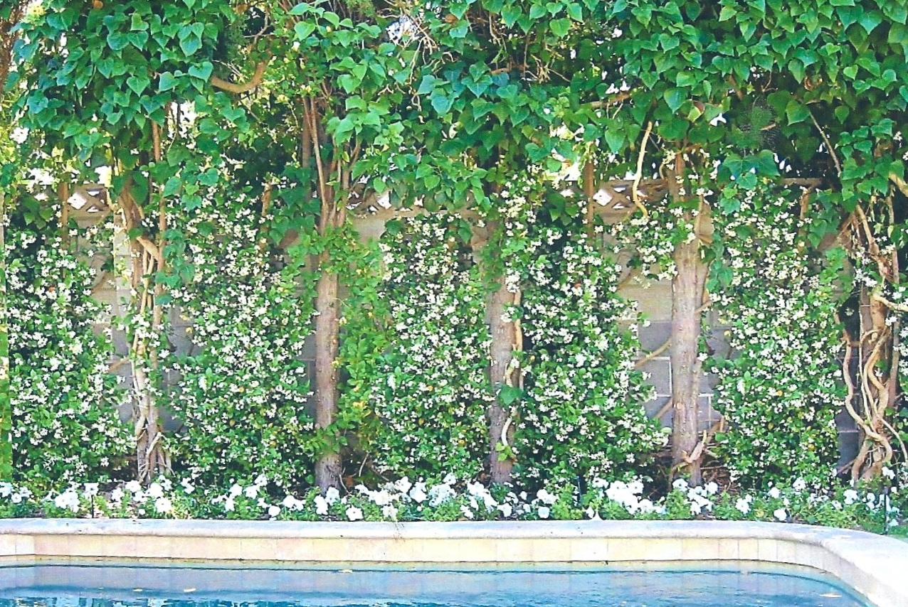 White jasmine wall