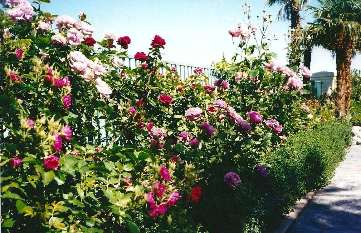 Roses at the lake