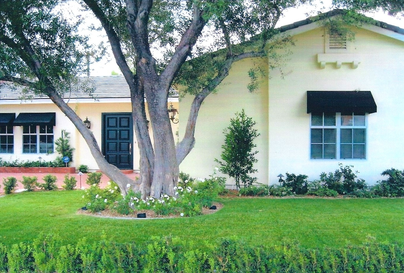 Front yard framed by old olive tree