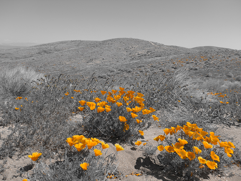 2014 Poppy Reserve. Antelope Valley, CA.
