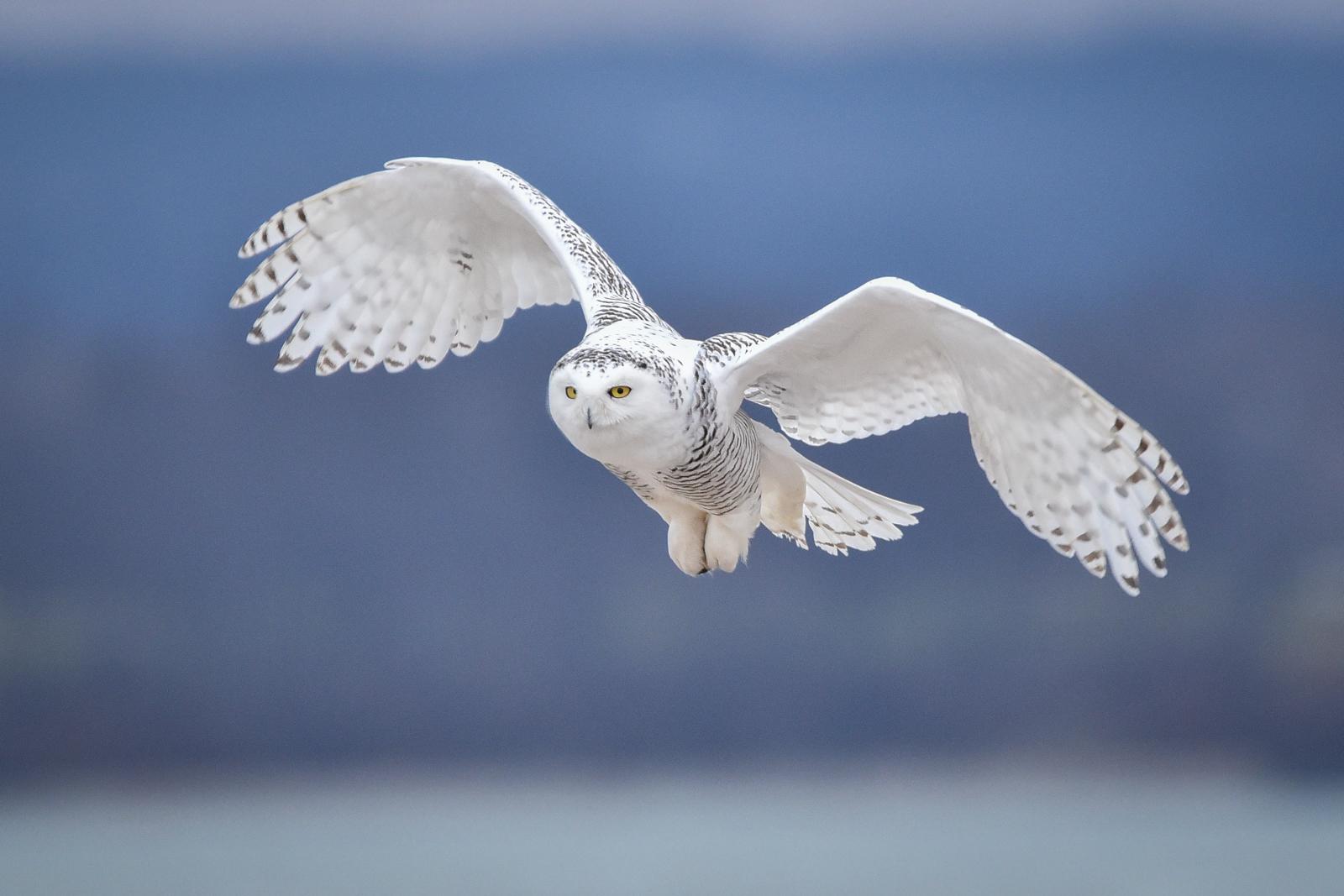 Snowy Owl - Presque Isle_12.29.14-57.jpg