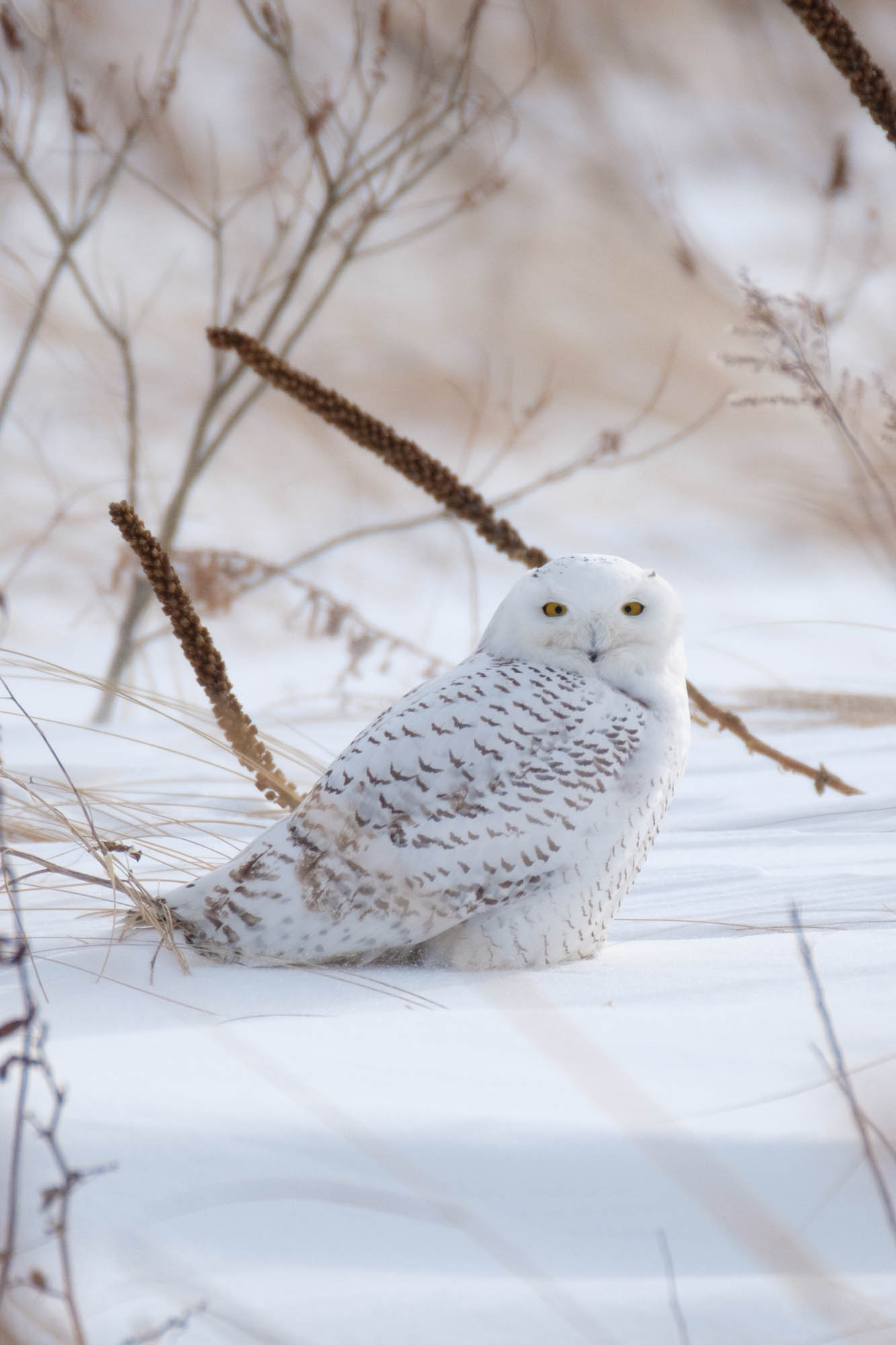 Snowy Owl-Presque Isle_1.2.18-95.jpg