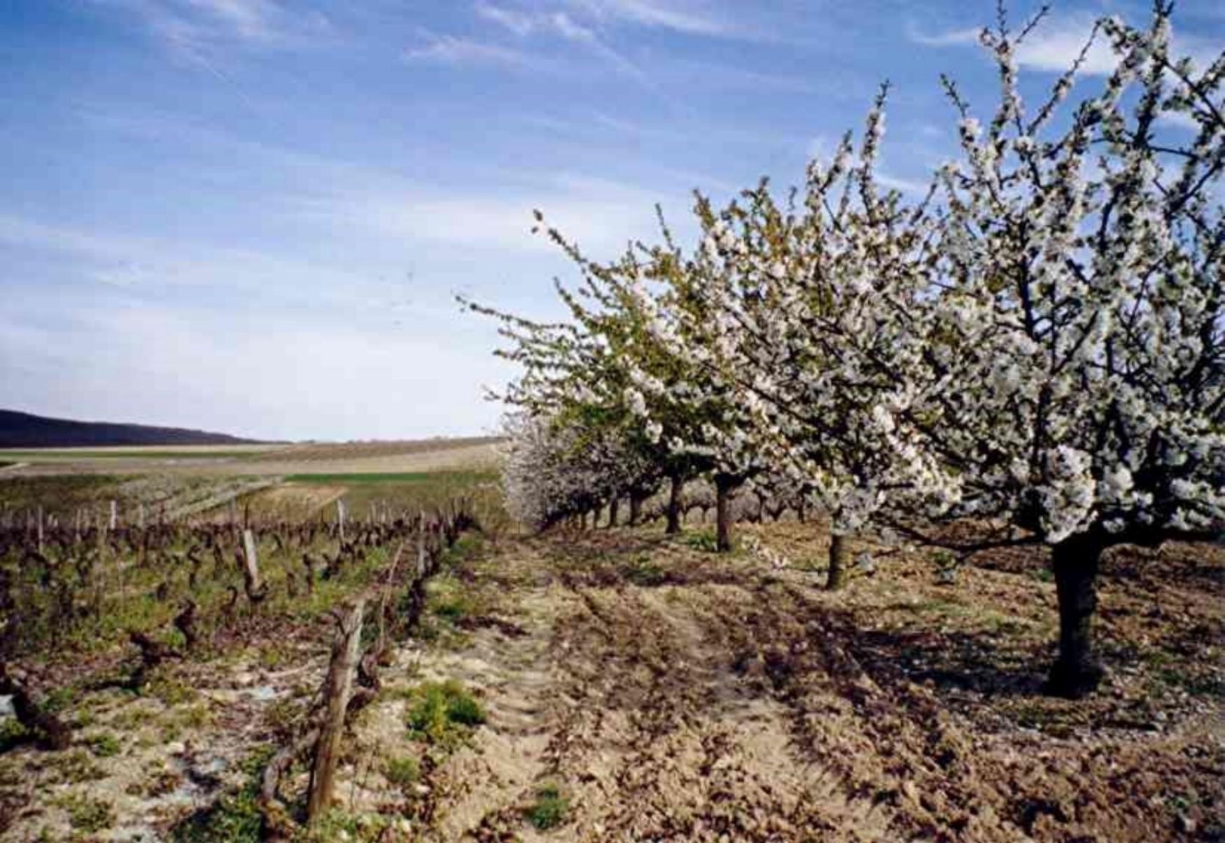 mp cerisiers-vigne-irancy.jpg