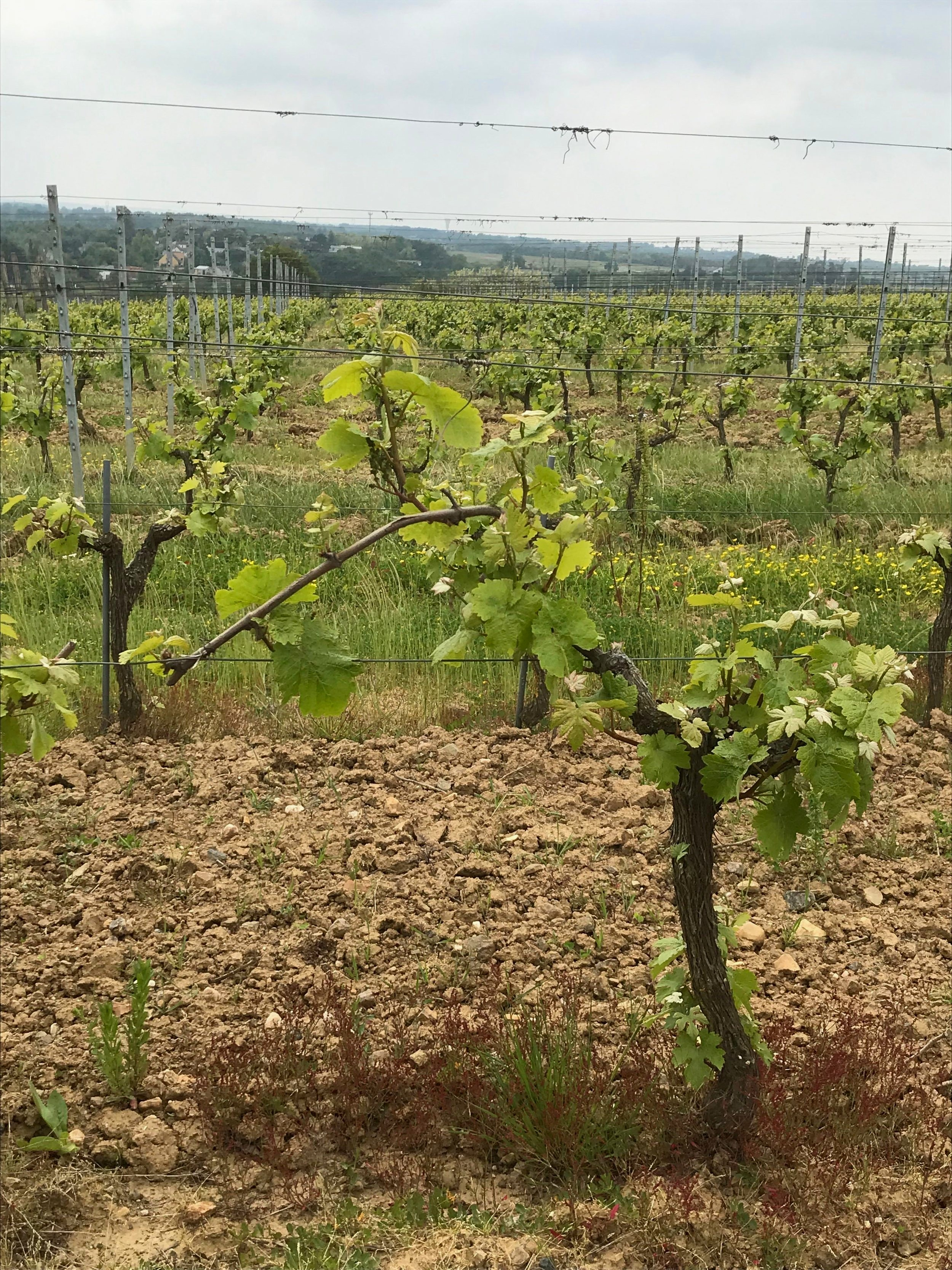 The second growth of frost-damaged vines on Montbénaut near Rablay-sur-Layon.