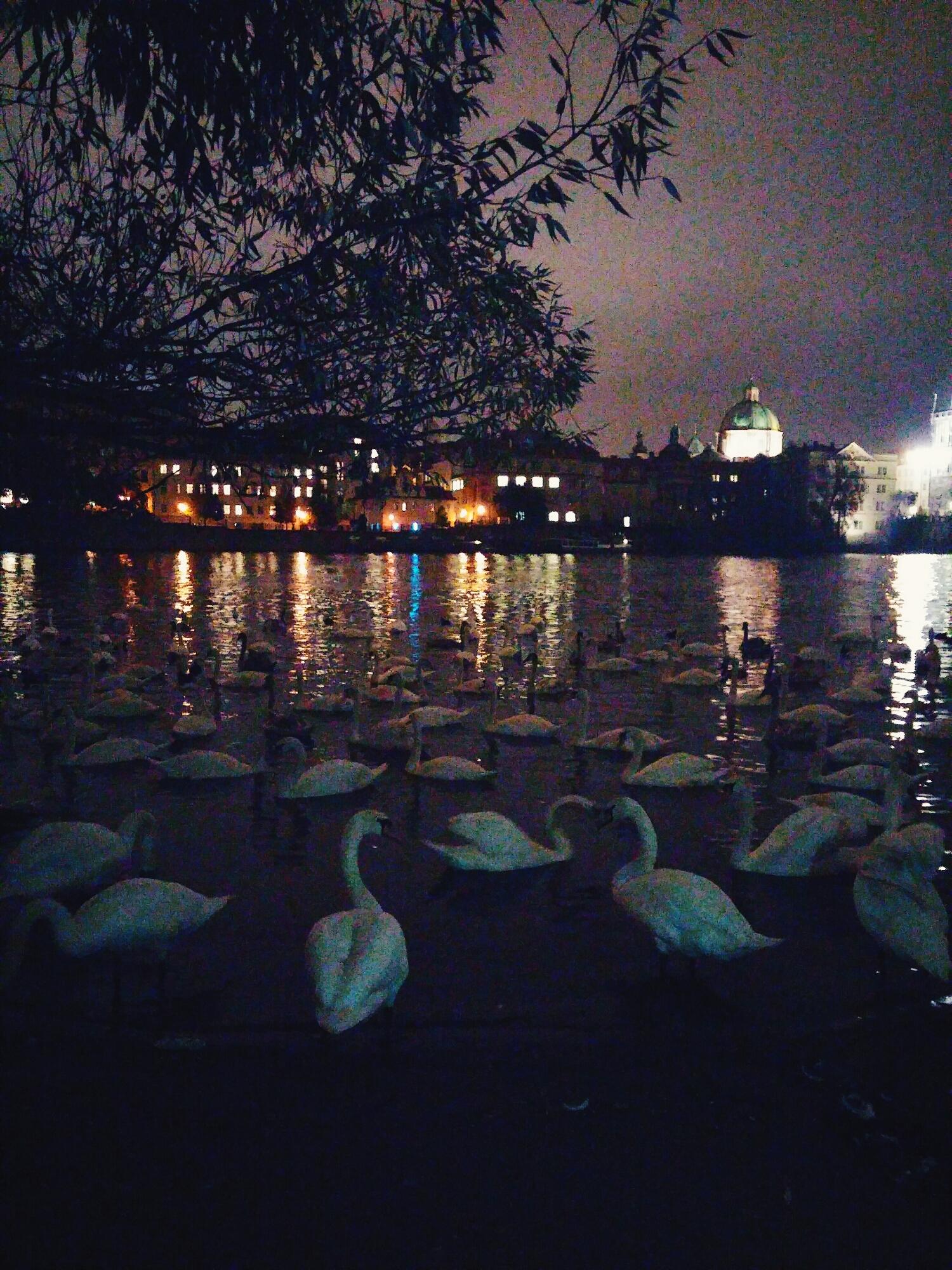{Swans chilling in the Vltava River.}