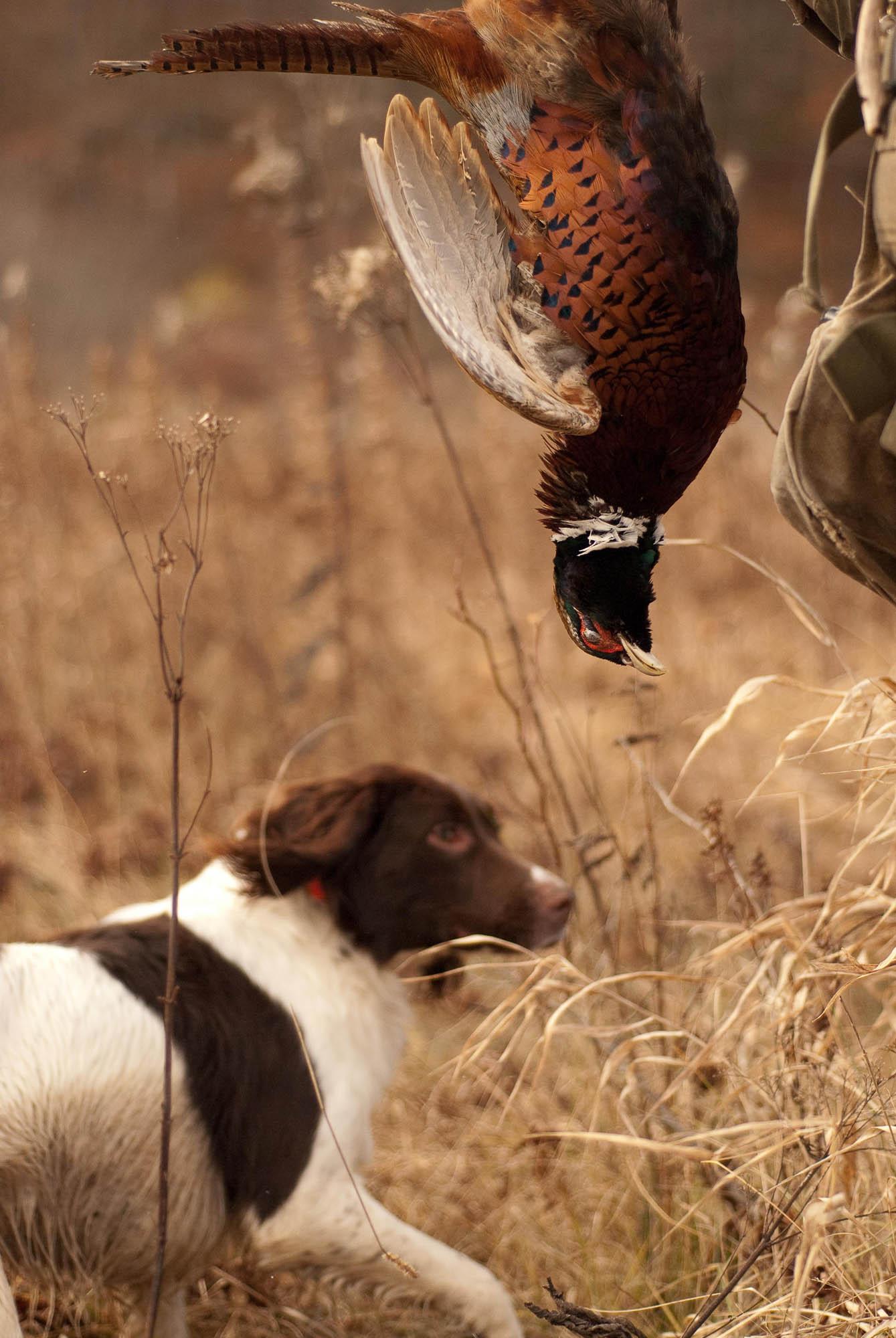 pheasant-1-2.jpg