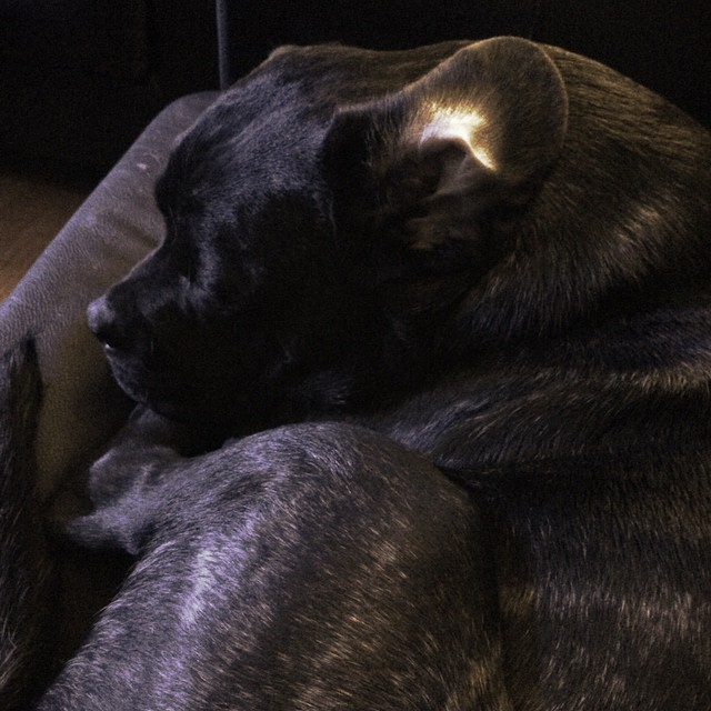 Sleepy Baby. #puppy #puppiesoninstagram #love #perfection #betterthanbabies #canecorso #bulldog #bullybreeds #ilovemylittlegirl