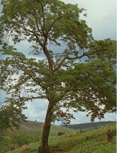 "Brazilain ""dalbergia nigra"""