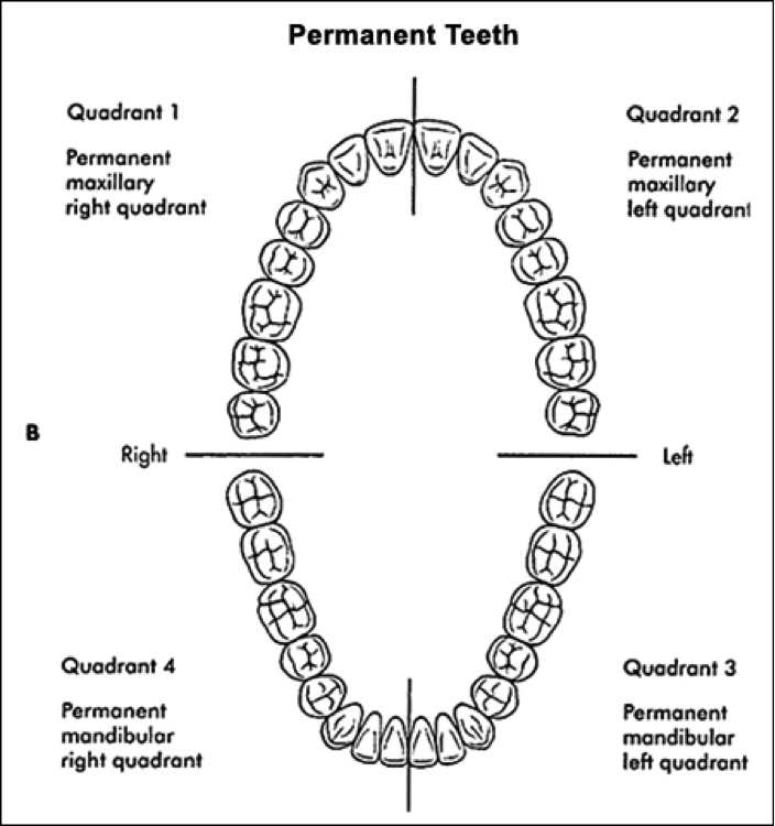 The mouth can be divided into four quadrants: Upper Left, Upper Right, Lower Left and Lower Right