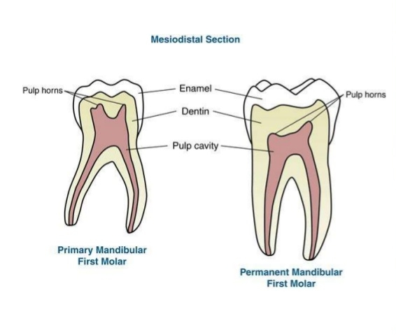 Primary first molar versus adult first molar. Notice how the enamel is relatively thicker in the baby tooth, while the overall thickness of both layers is much less than the adult tooth.