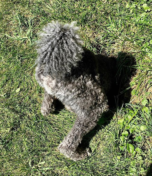 #tbt to a warmer Thursday when Remy visits groundhogs . . . #poodle #dogs #dogsofinsta #poodlesofinstagram #poodlebutt #savvyvideo #philadelphia #westchester #groundhog #carnivorelife #carnivore