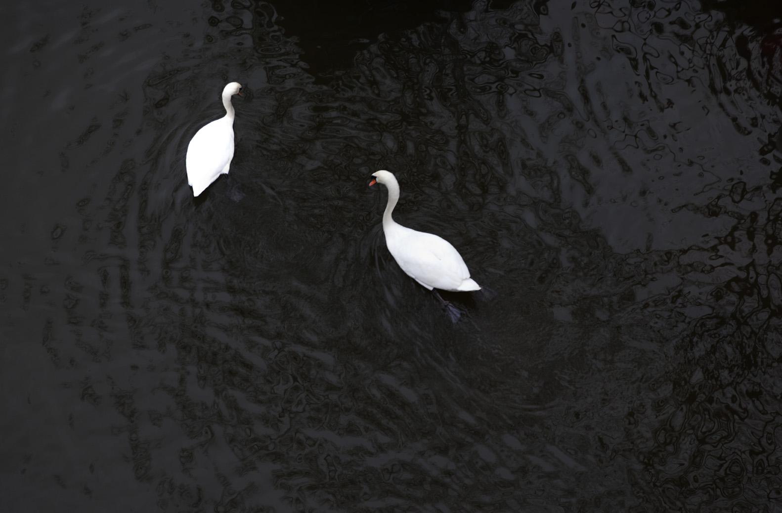 Swan_5297 copy.jpg