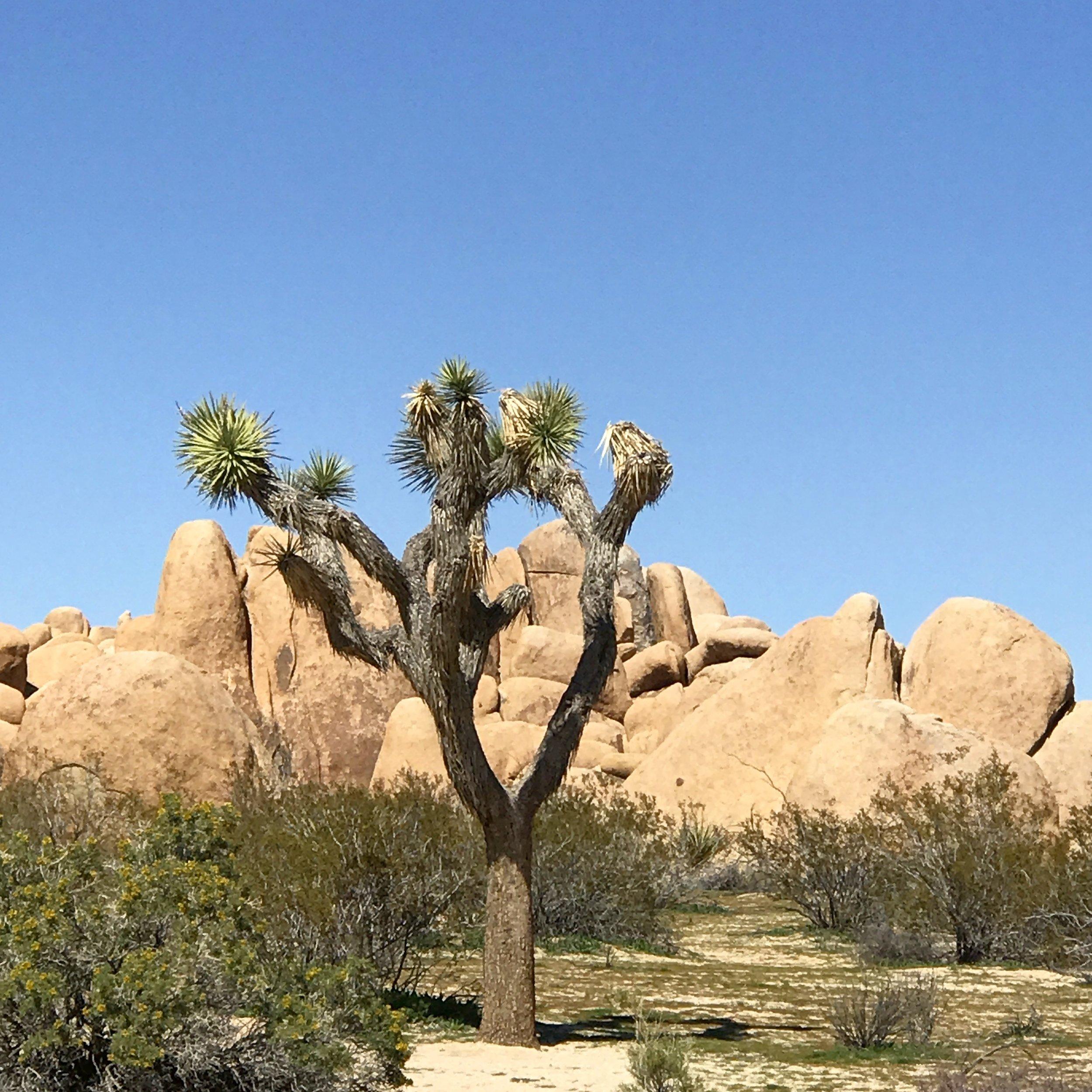 Joshua Tree National Park   Joshua Tree, California