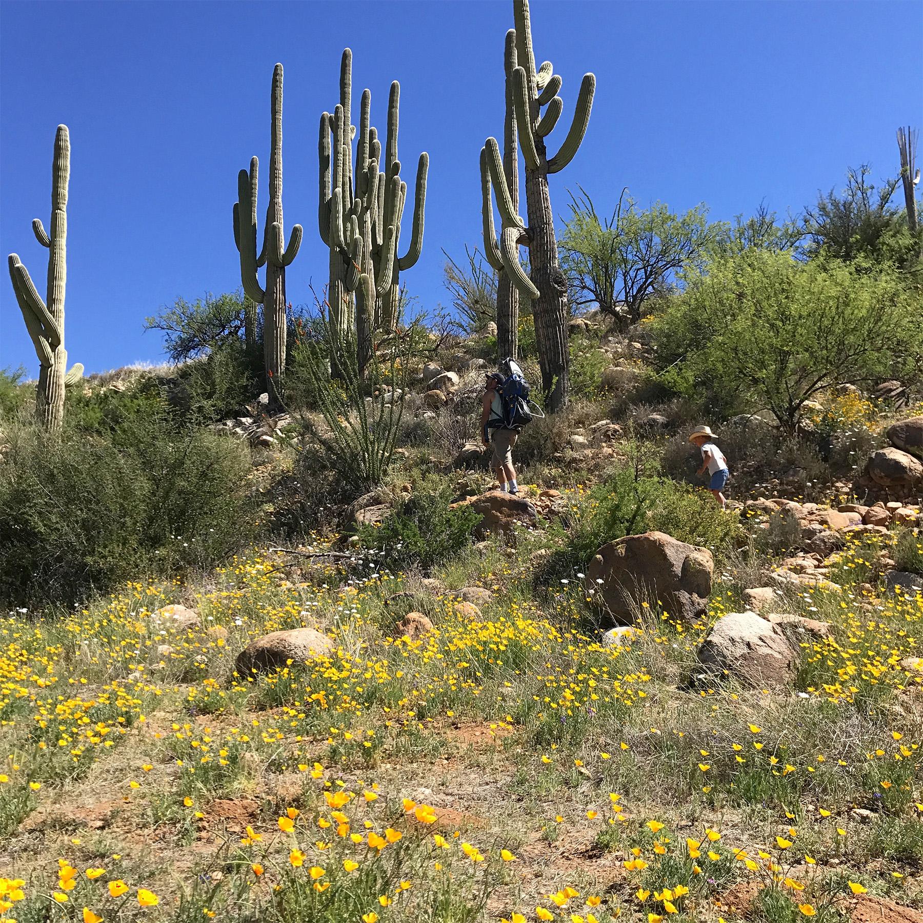 The lush desert bloom | March | Tucson, AZ