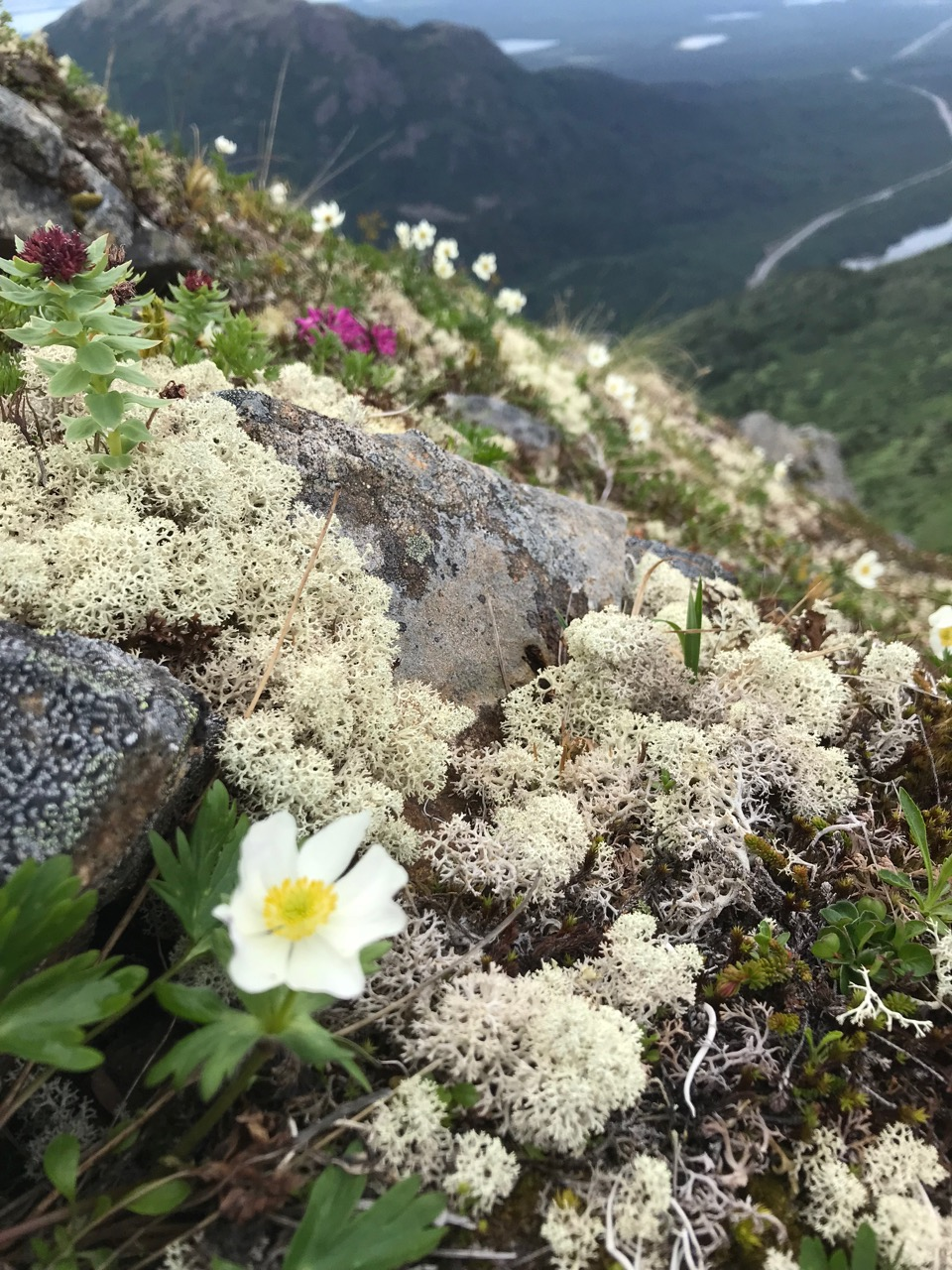 Reindeer moss (actually a lichen) blankets the mountainside of a peak outside of Soldotna, Alaska.