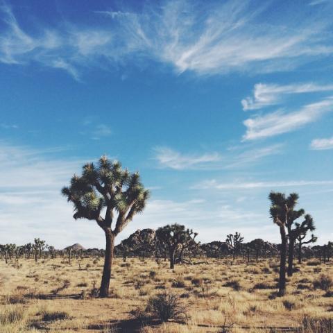 Joshua trees.