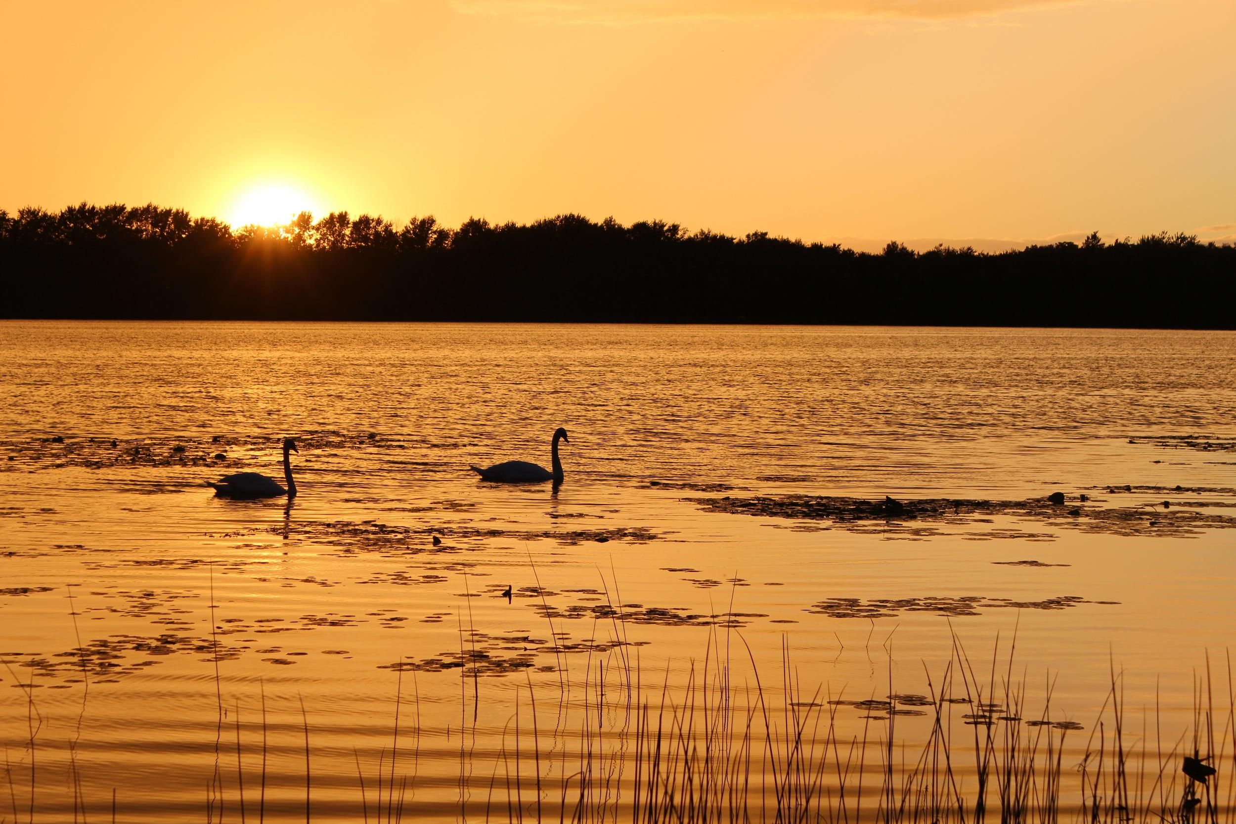 Sunset Swans