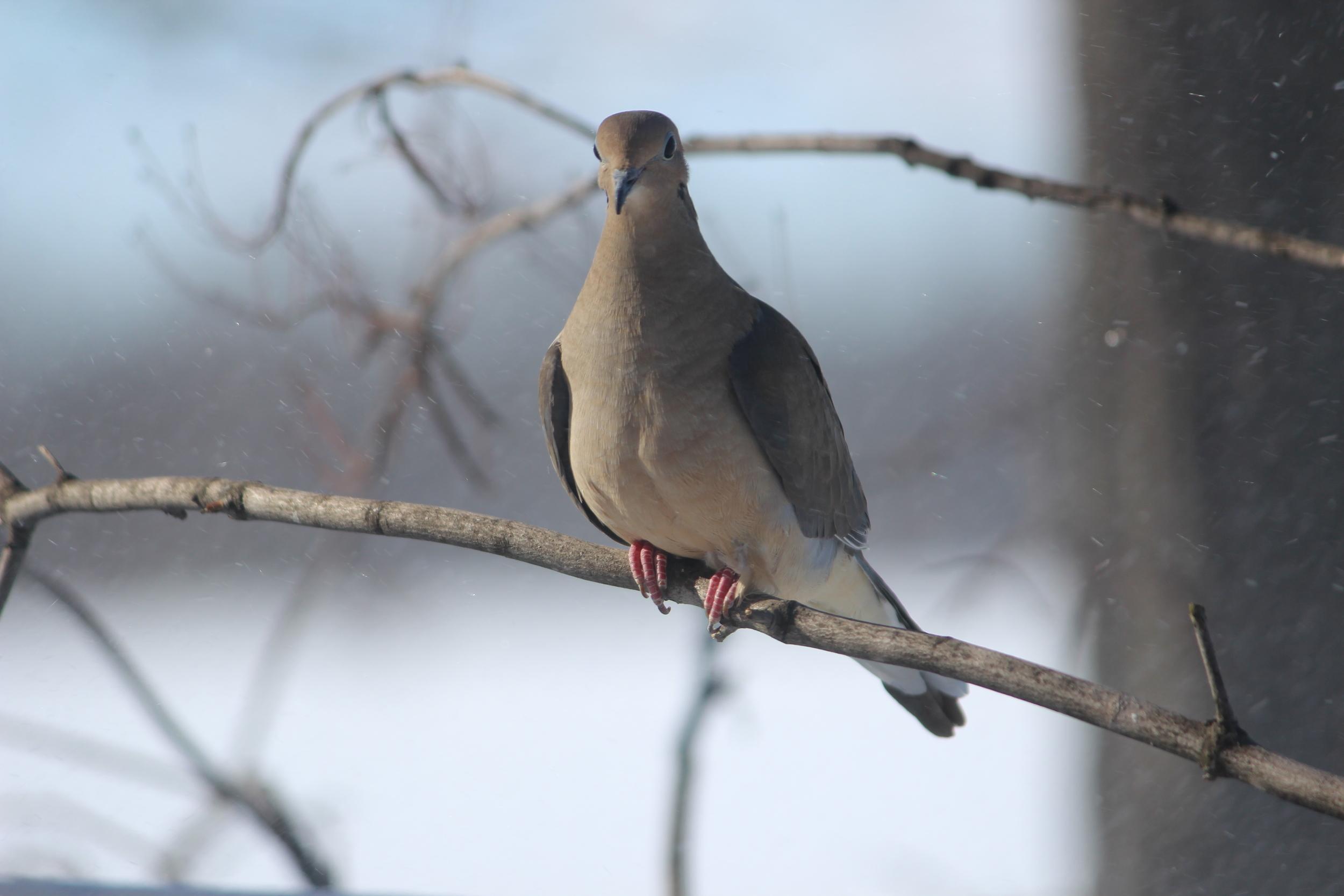Graceful Dove