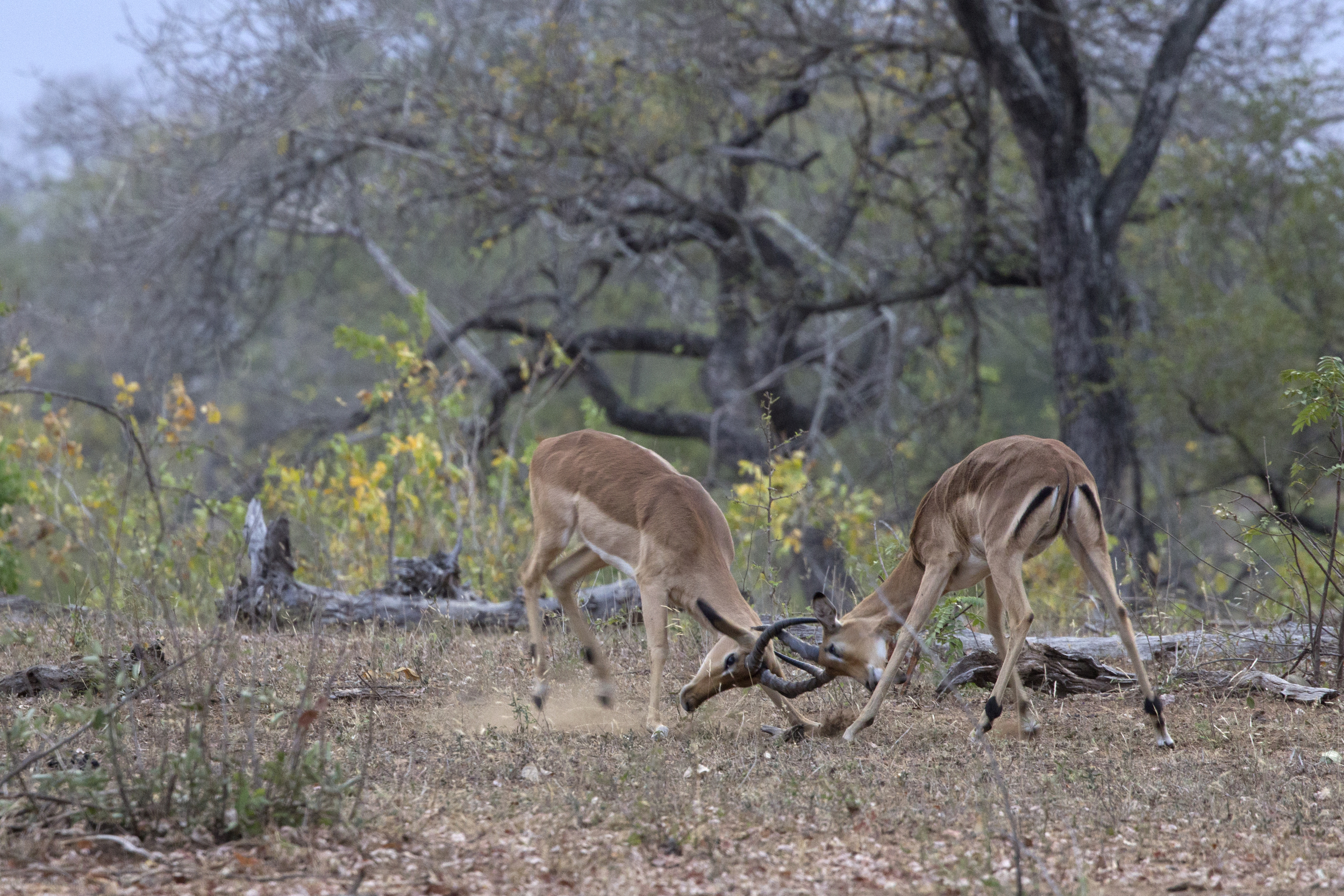 Impalas Fighting