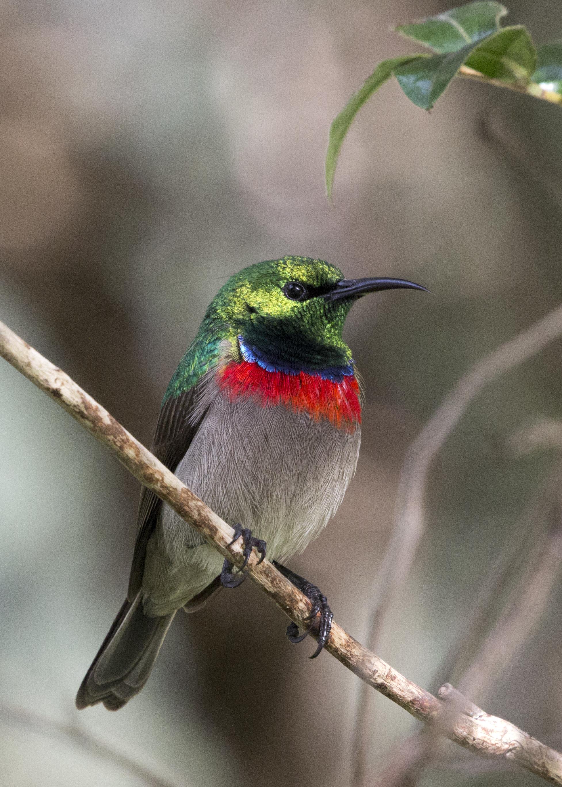 Male Sunbird 2
