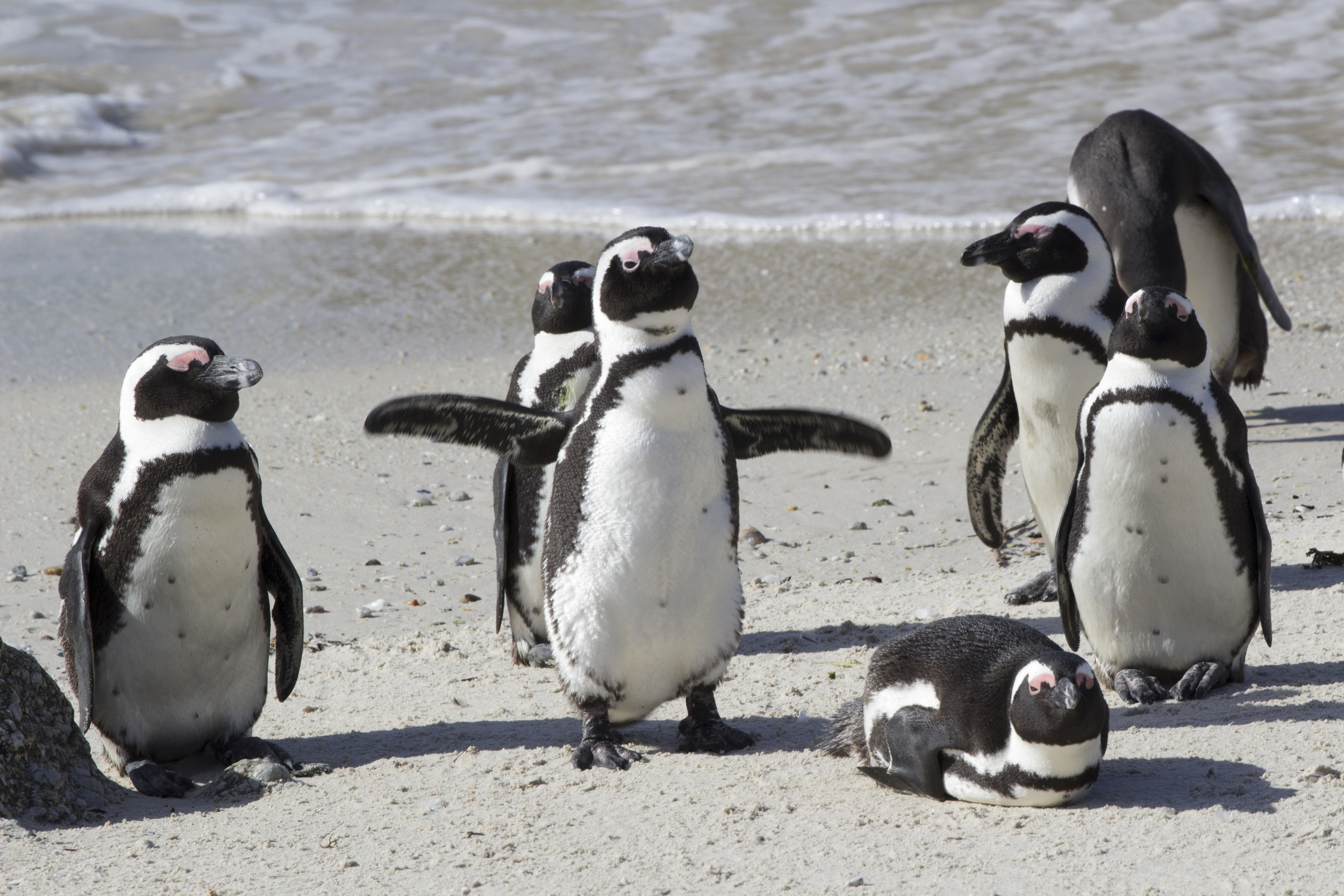African Penguins 2