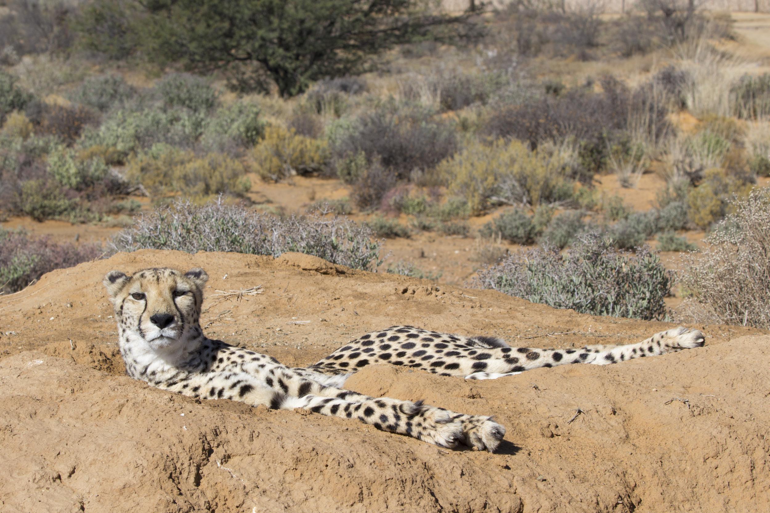 Cheetah IMG_5415.jpg