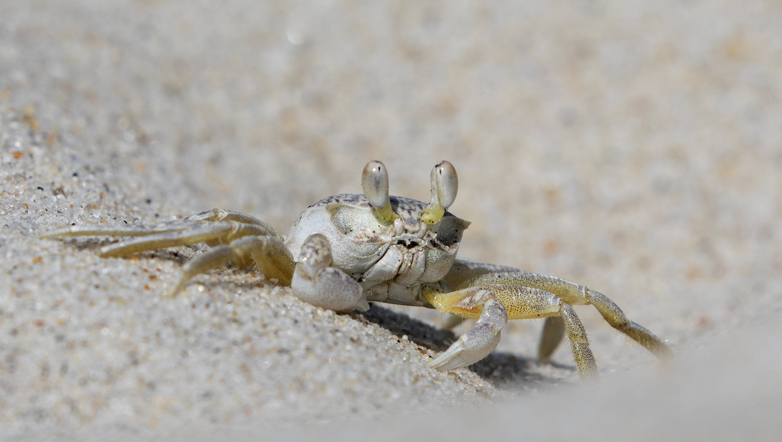 Ghost Crab, Assateague Island, Maryland 2019