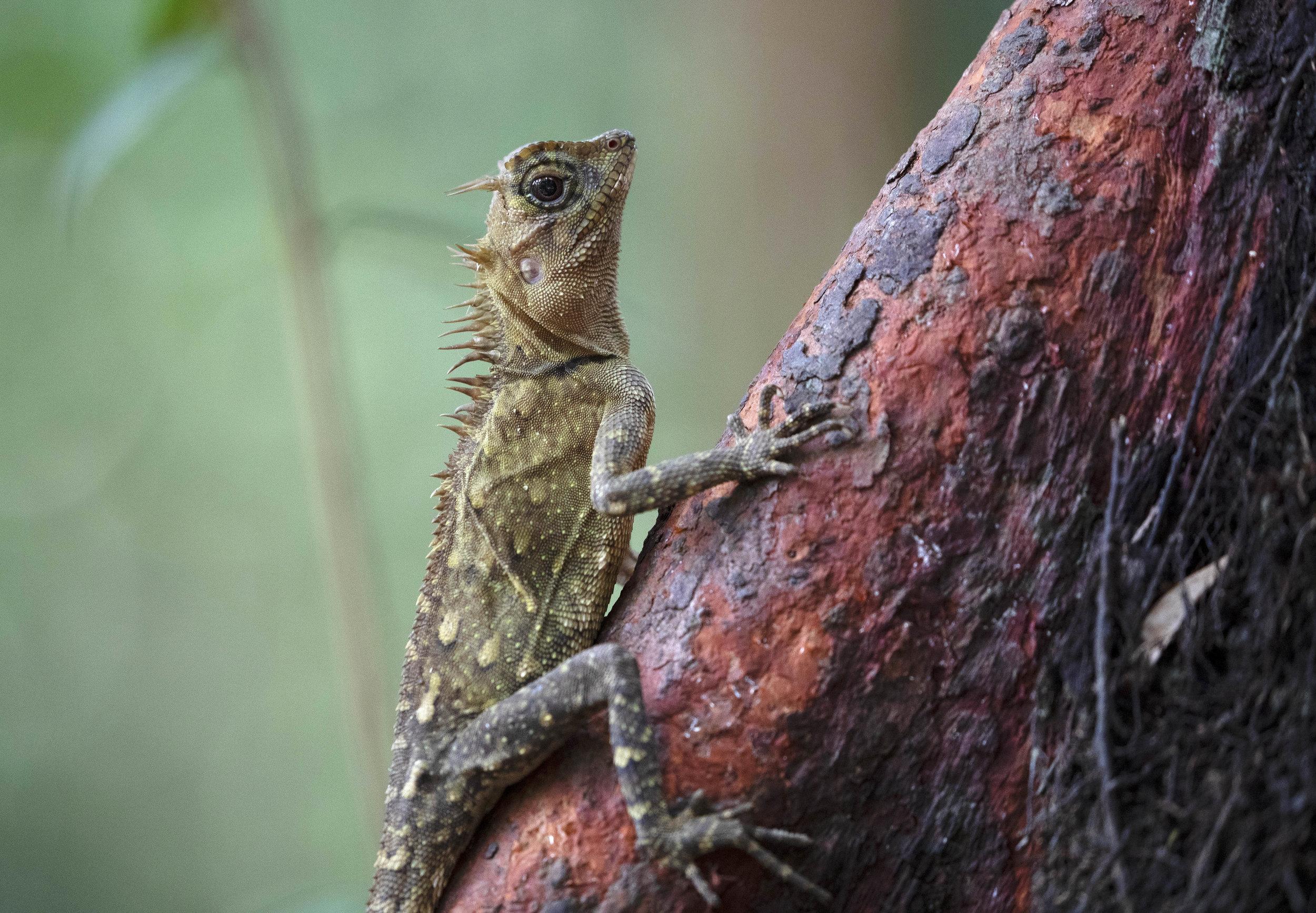 Peninsular Horned Tree Lizard, Penang Malaysia 2019