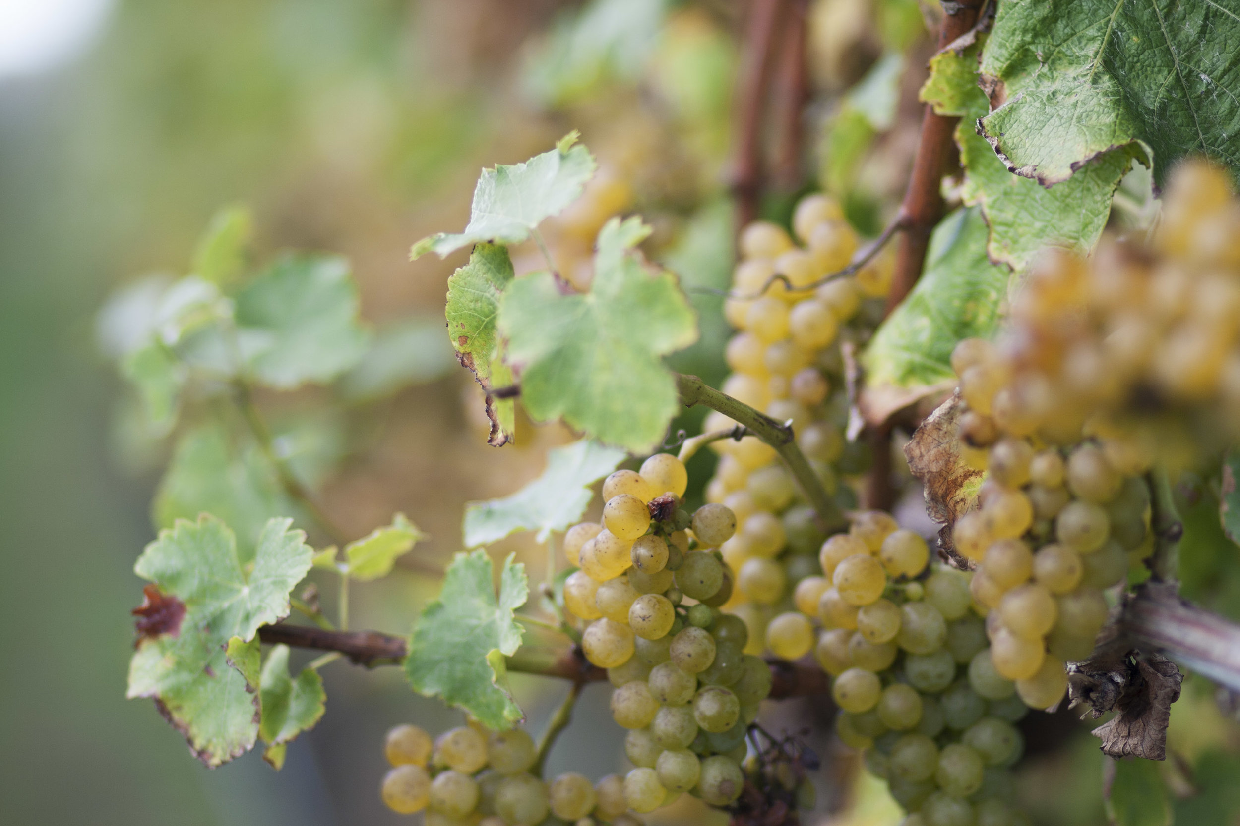 Sauvignon Blanc 2014 harvest.jpg