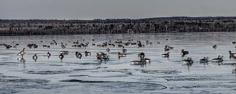 Geese at First Ice