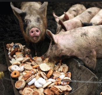 Apparently pigs love treats, especially sugar-coated doughnuts.