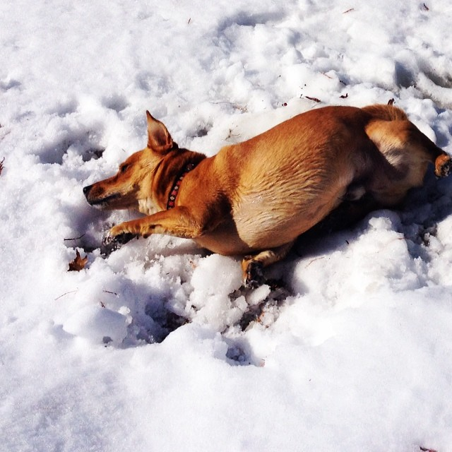 Doggie does snow angels! #philosopherdog #rescuedogs #rescueanimals #happydog #homewardtrails #Snowdc #capitalcritters