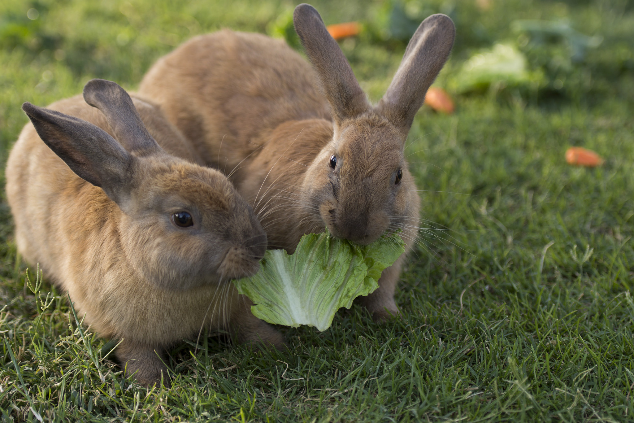 Rabbits share a piece of romaine lettuce fed to them by volunteer Stacey Taylor at Floyd Lamb Park at Tule Springs in Las Vegas,Sunday, July 31, 2016. The park is one of several locations in the valley where domesticated rabbits are illegally dumped and lack the know-how to survive in the wild. Jason Ogulnik/Las Vegas Review-Journal