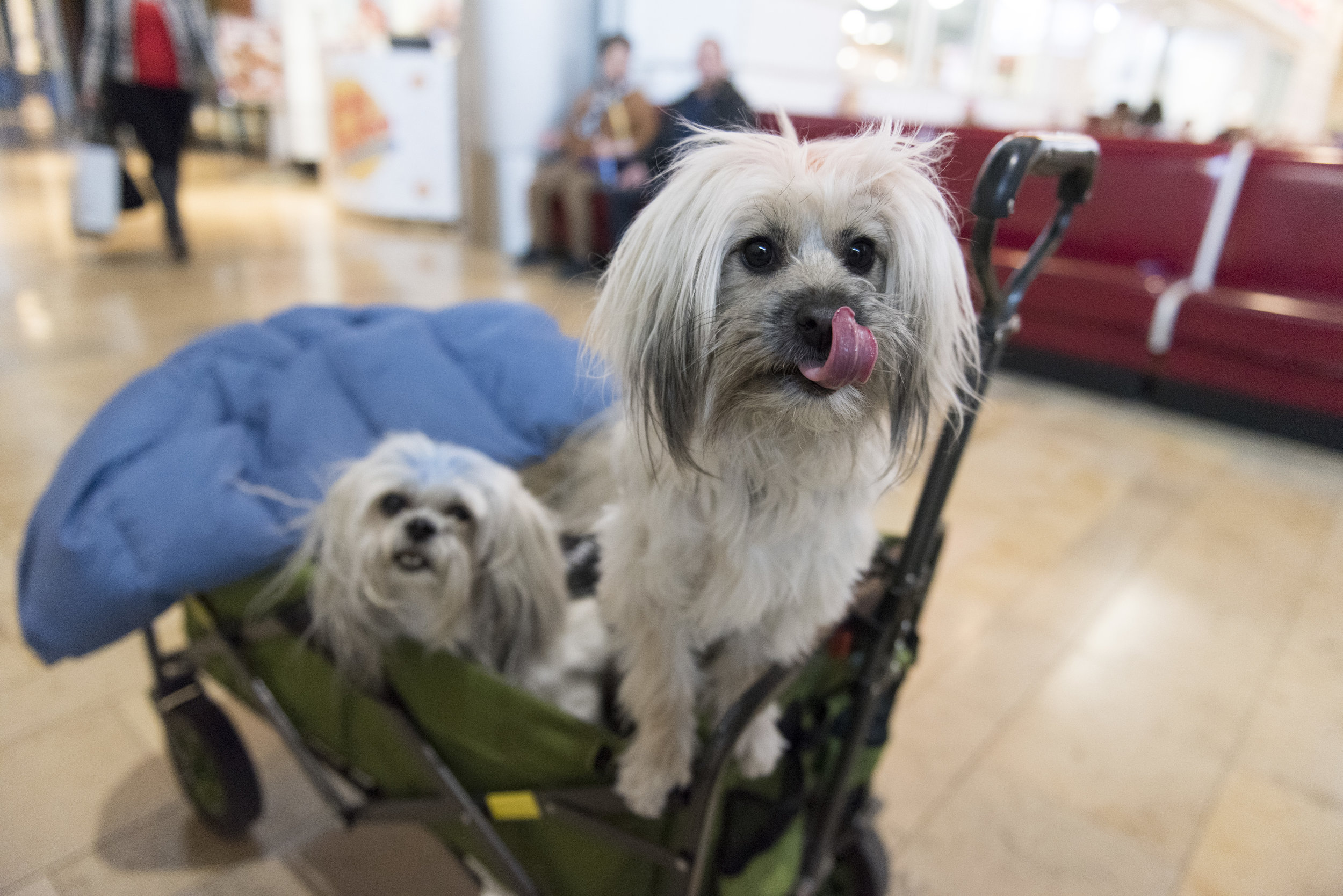 Service dogs are wheeled around Fashion Show Mall in a cart. Las Vegas, Saturday, Jan. 7, 2016.