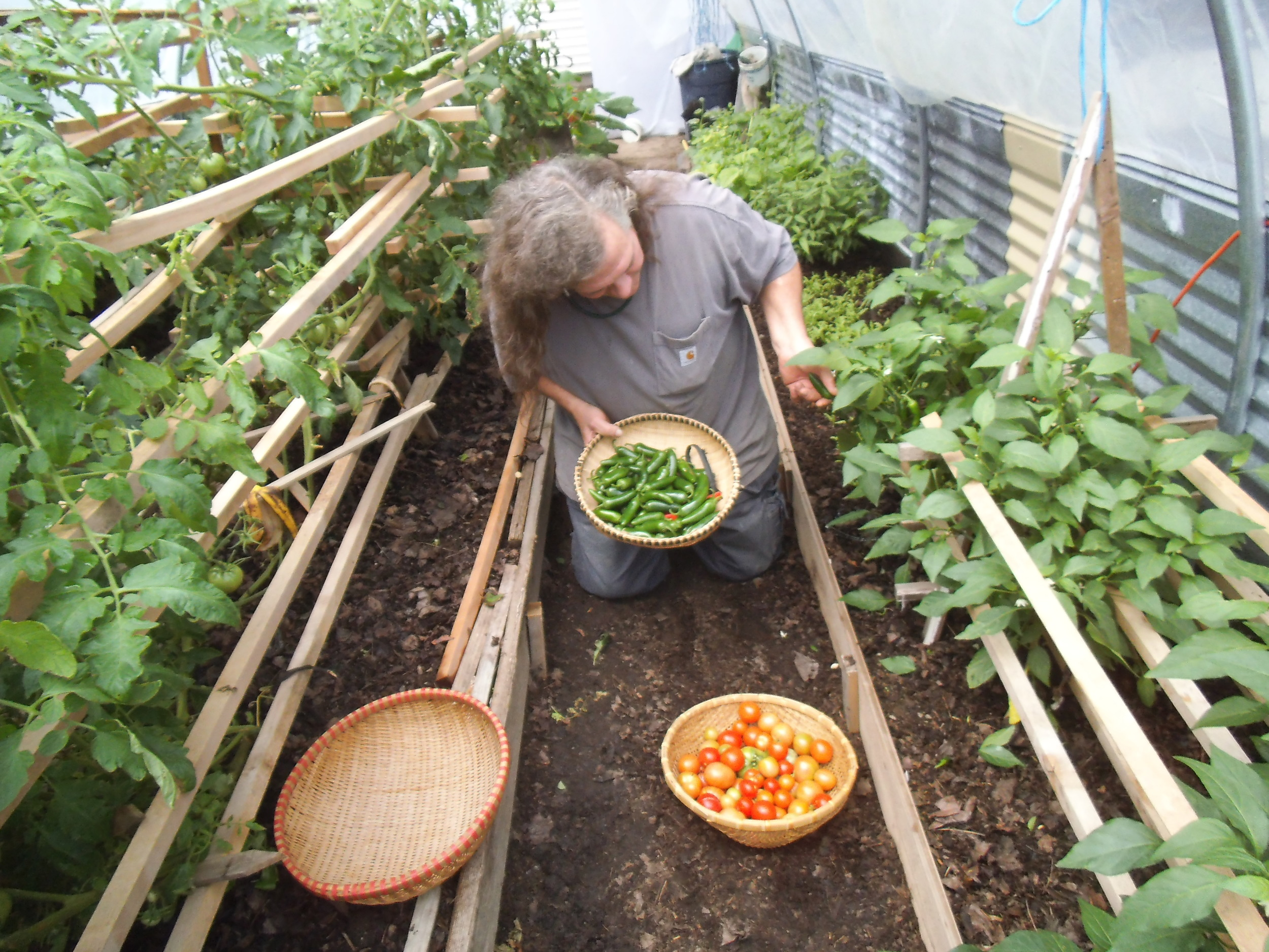 Rob Payne harvesting in the hot house, 2013