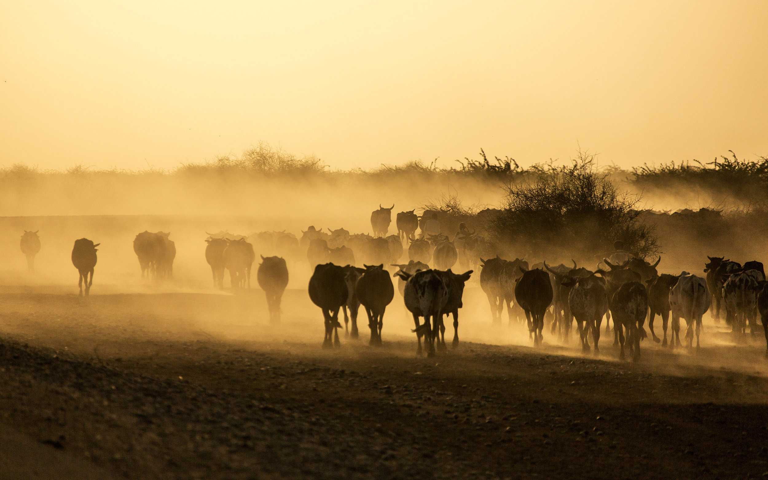 Sudan-SunsetCows.jpg