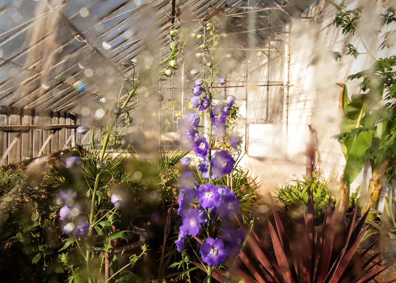 Delphinium in the glasshouse, Tyntedfield