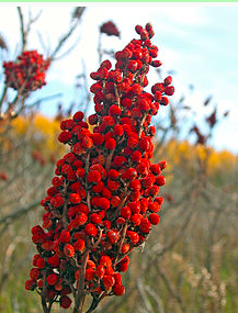 Image of staghorn sumac.