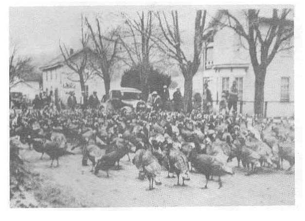 "Image of an former annual ""Turkey Herding"" in Hancock County, Tennessee."