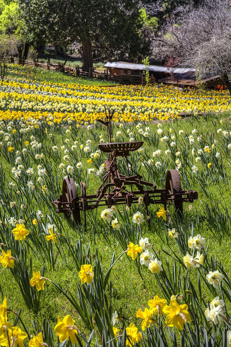 Daffodil Hill.jpg